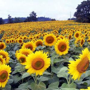 sunflowers walk of hope