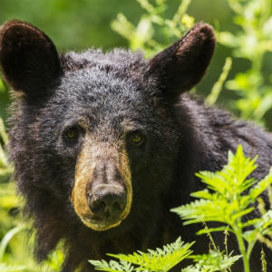 Black bears are among the many mammals found in Great Smoky Mountains National Park.