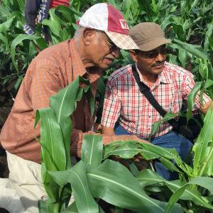 corn pest africa