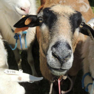 sheep goat farmers