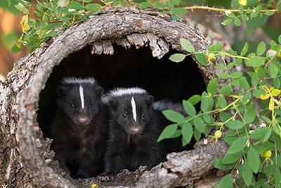 skunk business