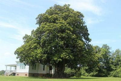 big tree program